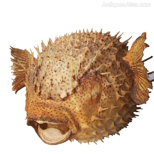 Antiques atlas giant puffer porcupine fish for Porcupine puffer fish