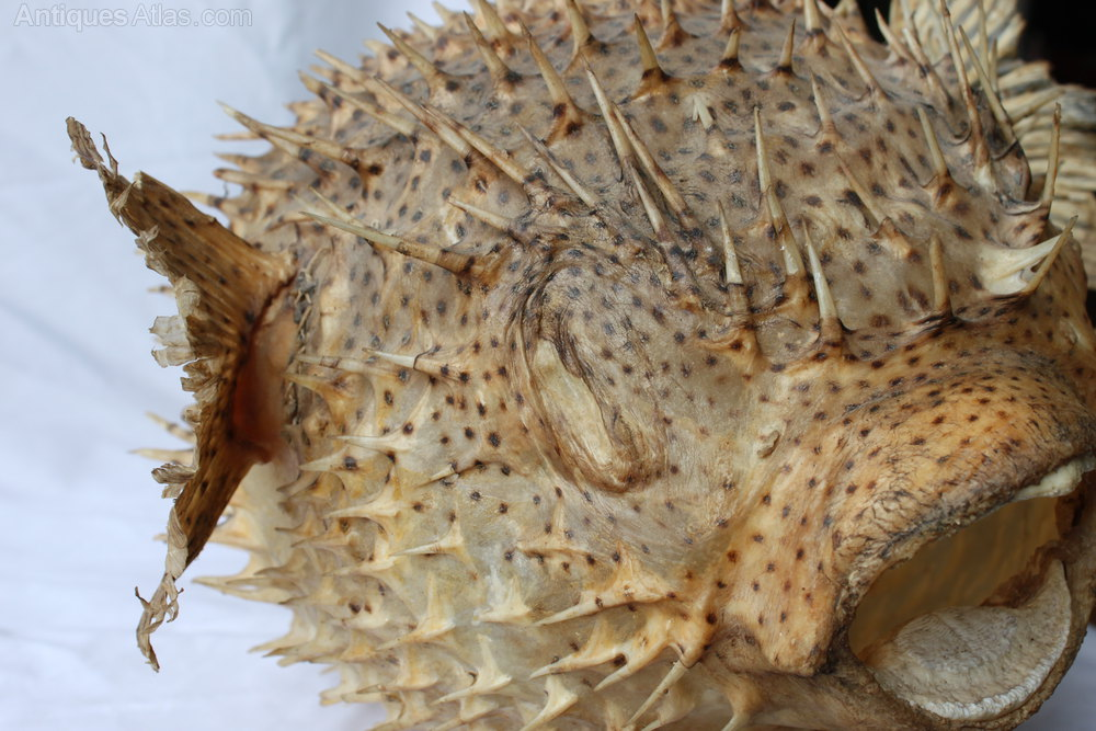 Antiques atlas giant puffer porcupine fish for Puffer fish price