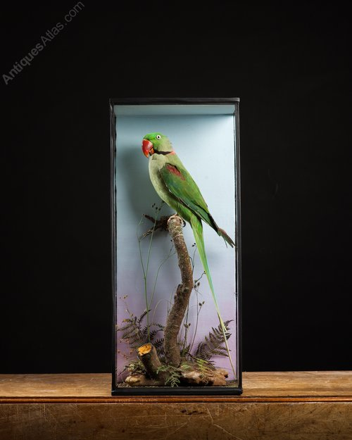 Antiques Atlas - Taxidermy Alexandrine Parrot