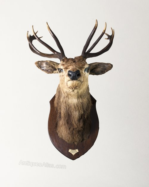 Antiques Atlas Taxidermy Stag Head By Rowland Ward