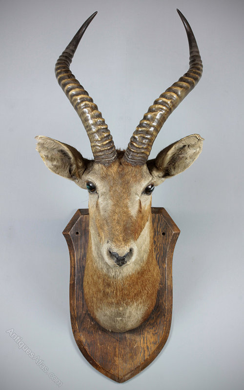 antiques atlas mounted antelope head. Black Bedroom Furniture Sets. Home Design Ideas