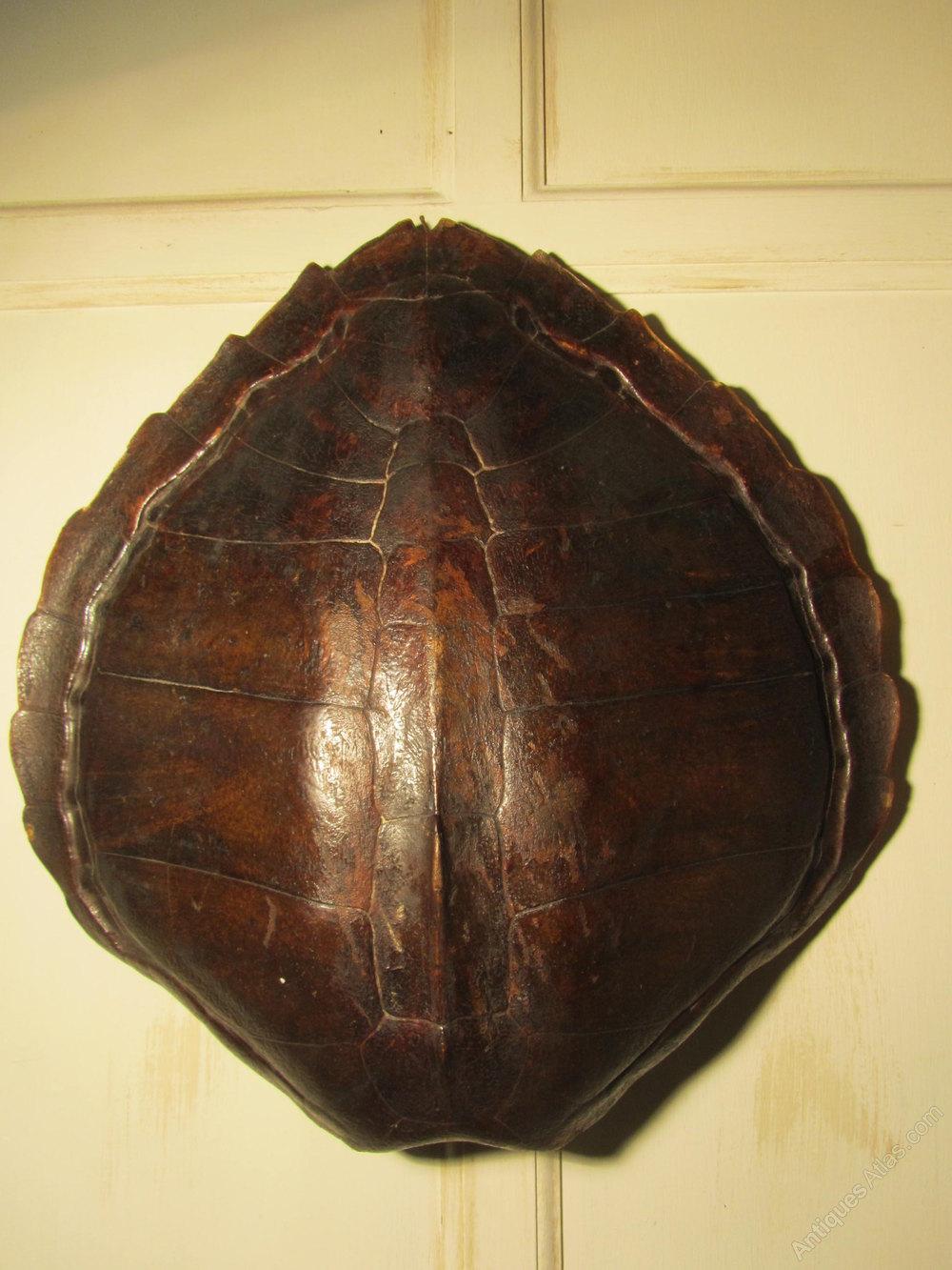 Large Image For Asclepias Incarnata Swamp Milkweed: Large Turtle Shell