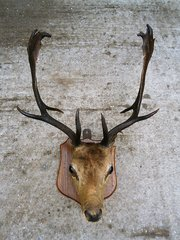 Antique Taxidermy Stags Head