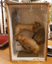 Taxidermy Pair of Red Squirrel